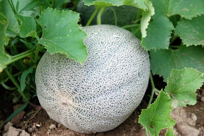 Melons, still time to plant. (hillsborough-homesteading.com)