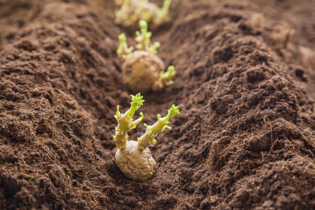Plenty of time to plant potatoes. (discovermagazine.com)