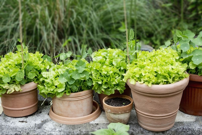 Plant lettuce and other greens in containers, and place in the shade. (thespruce.com)