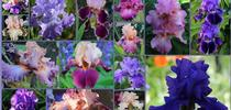 Bearded iris come in dozens of colors! (susannespicker.blogspot.com) for Napa Master Gardener Column Blog