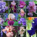 Bearded iris come in dozens of colors! (susannespicker.blogspot.com)