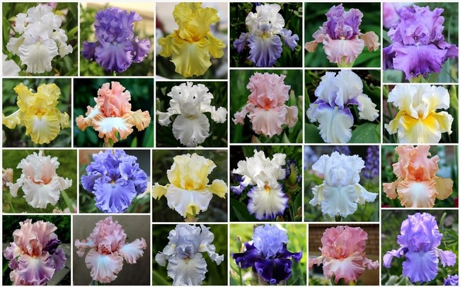 The world of bearded iris colors! (theamericanirissociety.blogspot.com)