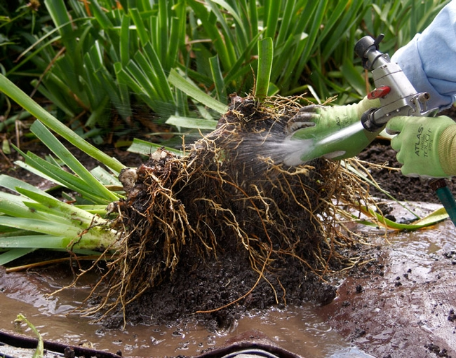 This is how the clump looks after digging up. It's ready to divide. (gardengatemagazine.com)