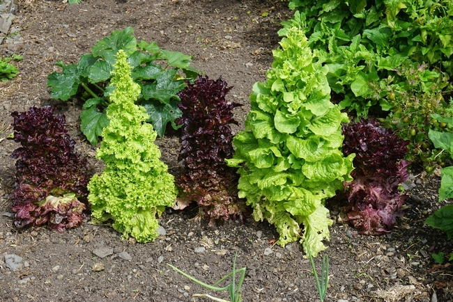 Lettuce bolting. (garden.eco)