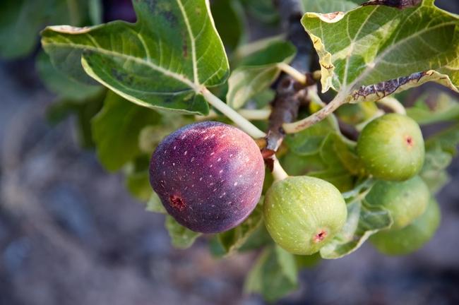 Figs. (thespruce.com)