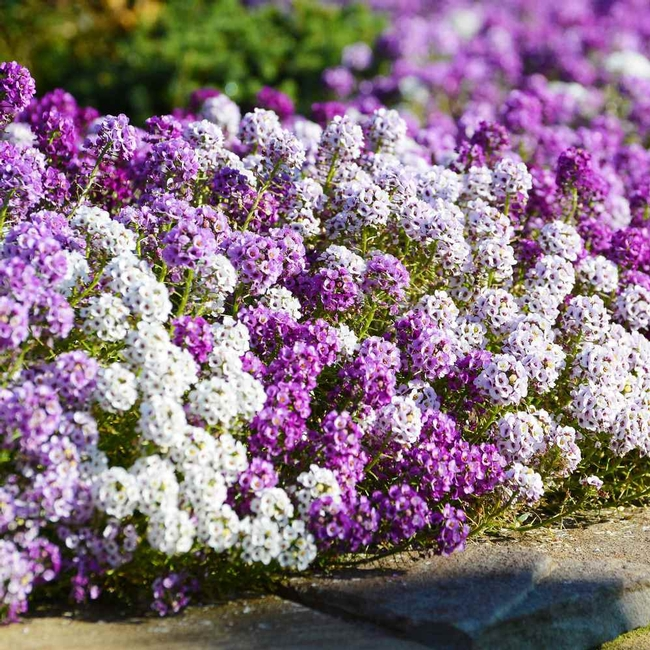 A is for alyssum. (outsidepride.com)