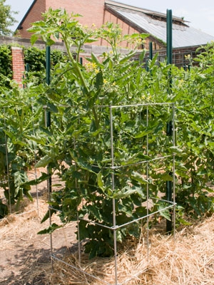 Depending on where you put your tomatoes, they can provide shade for plants that like it. (chicagobotanic.org)