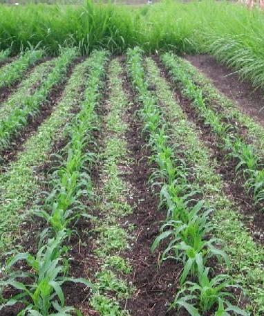 Intercropping. (learn.uvm.edu)