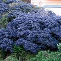 Ceanothus in shrub form. (ucanr.edu)