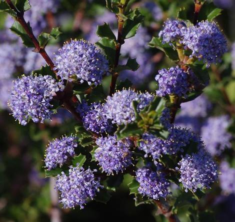 Ceanothus Blue Jeans, with lavendar colored blooms. (laspilitas.com)