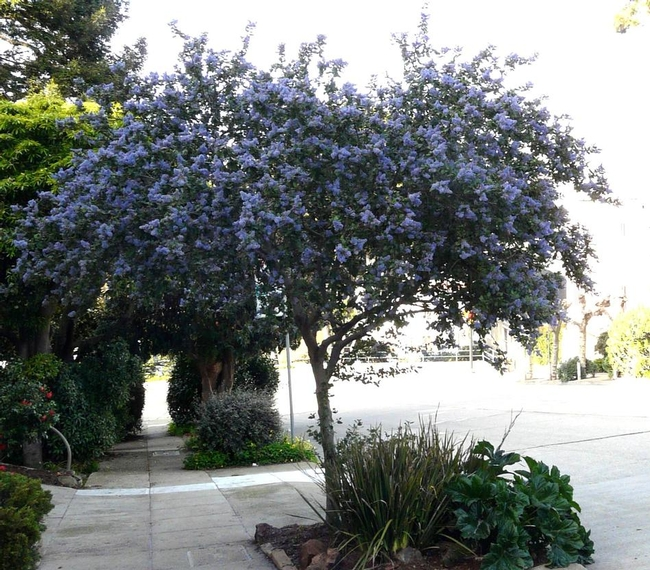 Ceanothus Ray Hartman, trained as a tree. (laspilitas.com)