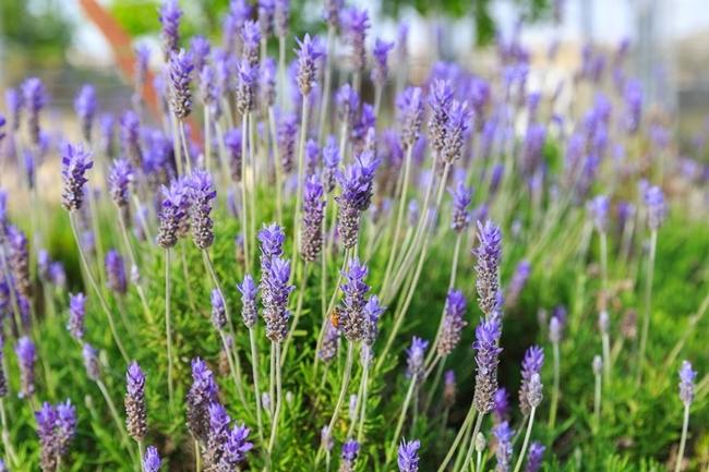 Lavender--Spanish or English, compatible companion to Ceanothus. (gardendesign.com)