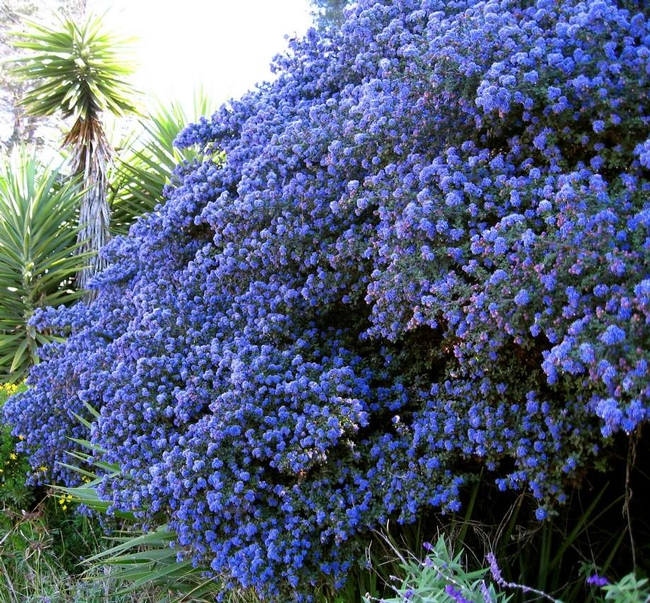 Leaving you with one more glorious photo of Ceanothus. (sfchronicle.com)