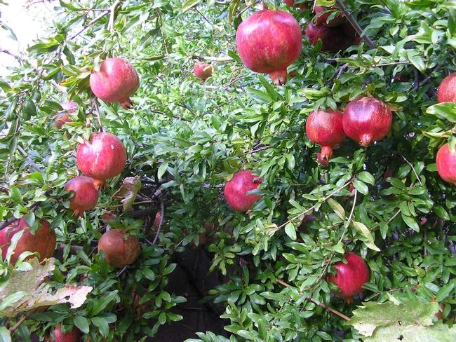 Growing pomegranates. (gardening-forums.com)