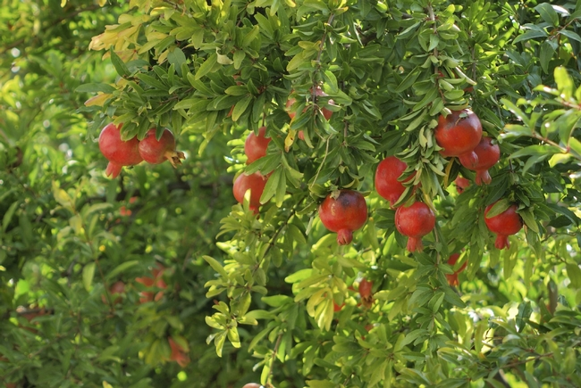 Pomegranate growing in garden. (gardeningknowhow.com)