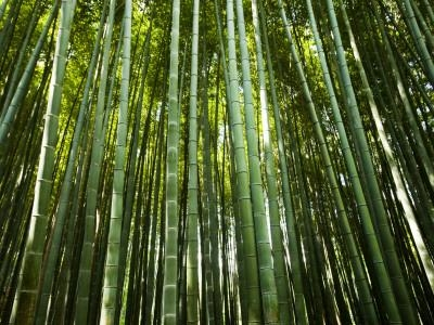 Bamboo trees may communicate via the mycorhizzal fungi network. (allposters.com)