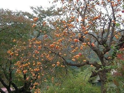 So may American persimmon. (raw-food-health.net)