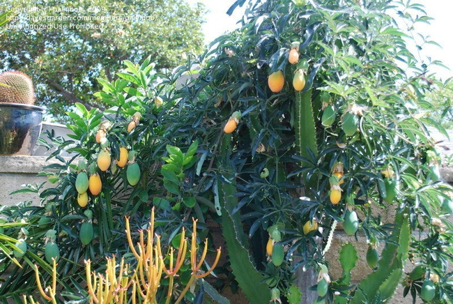 Passionflower fruits tangled in euphorbia! (davesgarden.com)