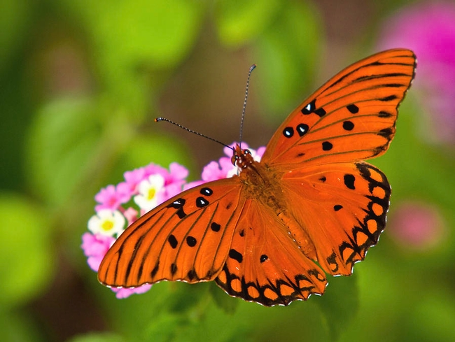 Gulf fritillary loves the passionflowers in Cindy's garden! (fineartamerica.com)