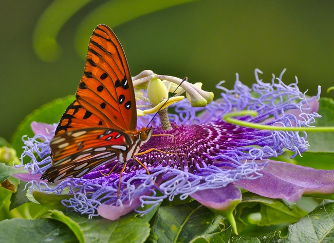 Gulf fritillary on passionflower. (flickr.com)