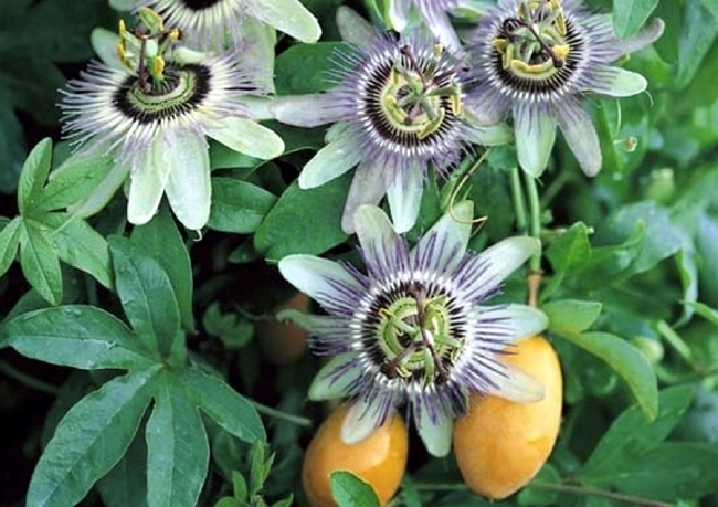 Passionflower with some fruit peeking through. (theherbhound.blogspot.com)