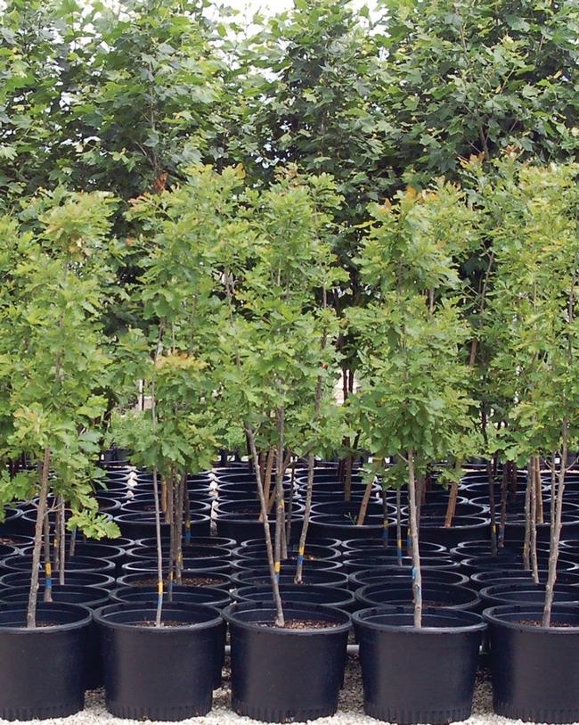 Potted trees at nursery. (kb.jniplants.com)