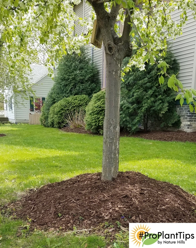 This photo illustrates two of Penny's points. One, keep mulch away from the trunk. Two, trees do not belong in the middle of lawn. (pinterest.com)