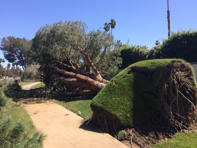 Tree failure due to improper irrigation. Also, it looks like the canopy was too massive for the roots to hold in place.  (cagardenweb.ucanr.edu)