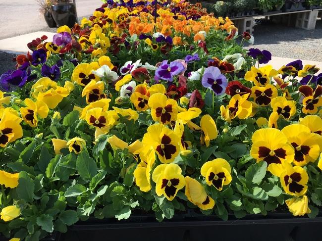 Fall annuals?  (plantsbycreekside.com)