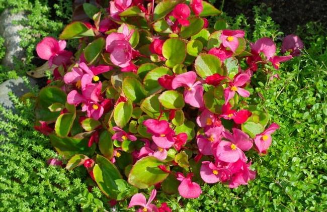 Begonia. (bestlandscapeideas.com)