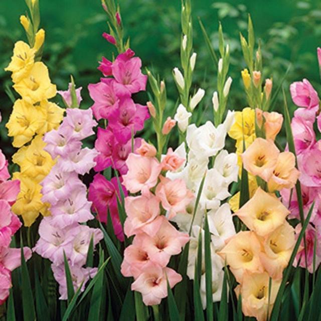 Gladiolus. (wholesaleflowerslasvegas.com)