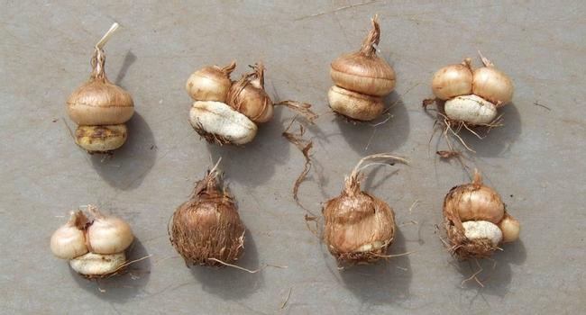 Corms, showing cormlets. (uncreatively.blogspot.com)