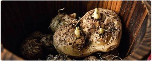 Calla lily rhizome. (citychickens.co.uk)