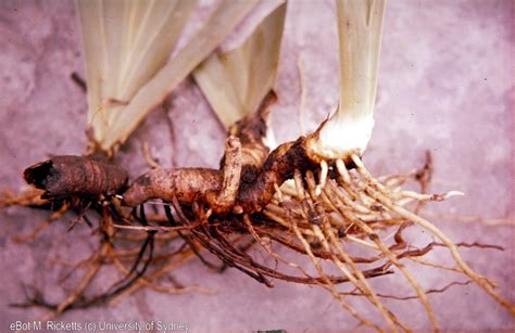 Agapanthus tuberous root. (digital.library.sydney.edu.au)