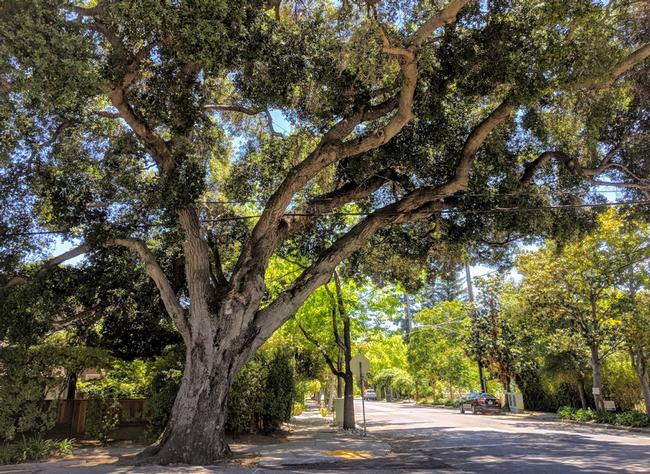 Coast live oak. Plan plenty of space for growth. (canopy.com)