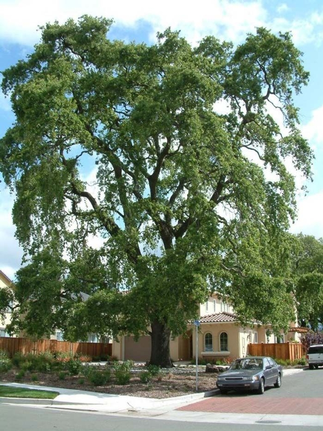 Valley oak. Also needs plenty of space to grow to maturity. (pinterest.com)