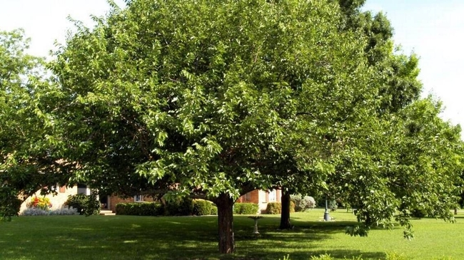 White mulberry. This is a fruitless variety. (pinterest.com)
