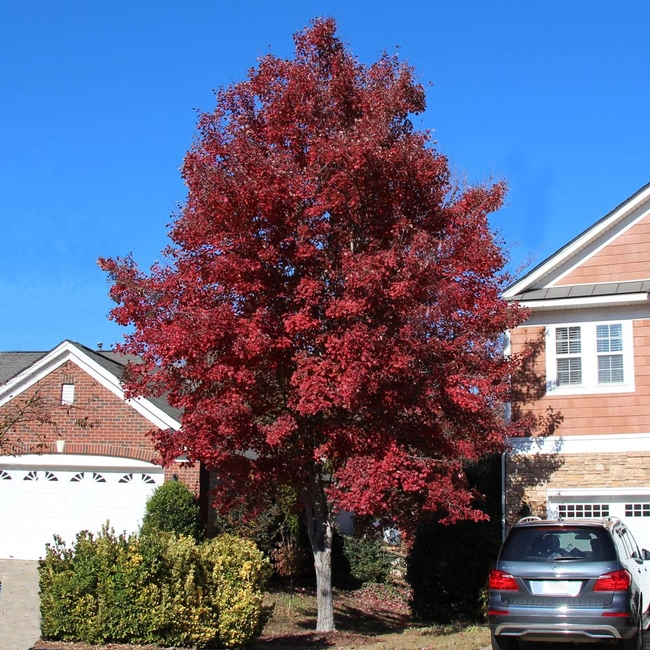 American red maple. As you can see, this is a big tree, too. (fast-growing-trees.com)