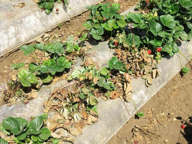 Fusarium wilt in strawberry. Known to affect tomatoes, too. (ucanr.edu)