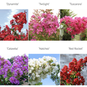 These are only a few of the colors of crape myrtle. (idiggreenacres.com)