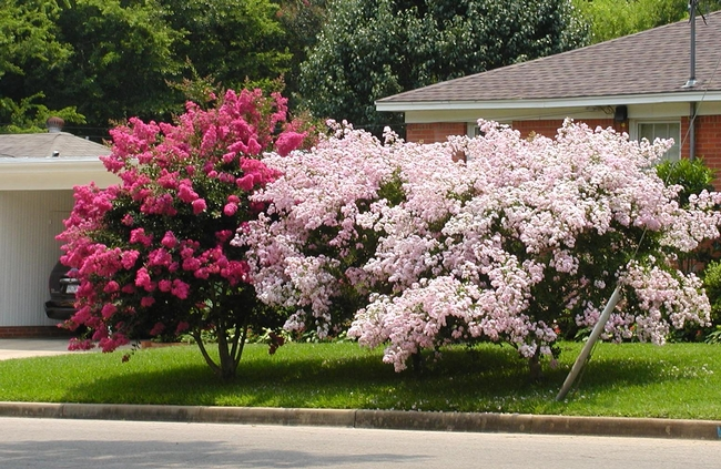 There are smaller crape myrtles . . . . (agrilife.org)