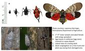 Spotted lanternfly life stages and damage