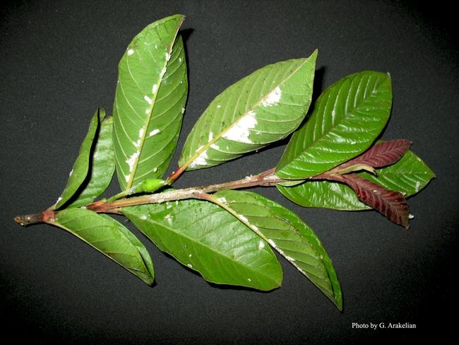 Bougainvillea mealybugon guava