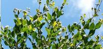 Ficus eye-spot midge-Damaged foliage-Tracy Ellis, SD Ag Comm Entomologist for Pest News Blog