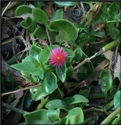 Healthy red apple ice plant-Heather Scheck