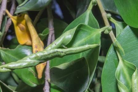 FLRP-Leaf rolling process-D.R. Hodel