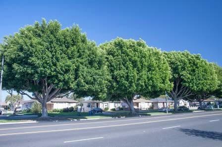 FLRP-Ficus microcarpa-D.R. Hodel
