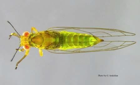FLRP-Adult dorsal view-Gevork Arakelian