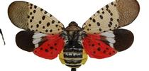 Spotted lanternfly life stages and damage for Pest News Blog