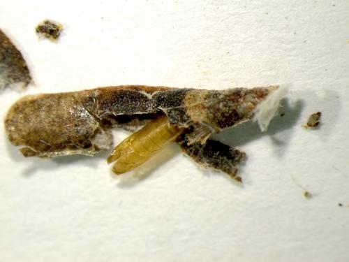 Coleophorid on Arctostaphylos